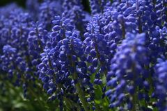Ciérrese para arriba de las flores del jacinto de uva en la primavera foto de archivo