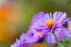 Ciérrese para arriba de las flores del polemonio Fotografía de archivo libre de regalías