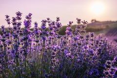 Ciérrese para arriba de las flores florecientes de la lavanda bajo rayos de ir abajo del sol Fotografía de archivo