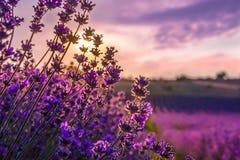 Ciérrese para arriba de las flores florecientes de la lavanda bajo rayos de la puesta del sol del verano Fotografía de archivo libre de regalías