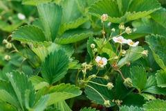 Ciérrese para arriba de las flores hermosas de la fresa Fotografía de archivo