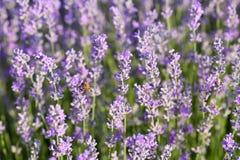Ciérrese para arriba de las flores de la lavanda con una abeja que recoge el néctar en un flor Fondo verde púrpura natural hermos Imagen de archivo libre de regalías