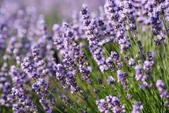 Ciérrese para arriba de las flores de la lavanda con una abeja que recoge el néctar en un flor Fondo verde púrpura natural hermos Fotos de archivo libres de regalías
