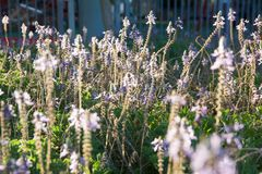 Ciérrese para arriba de las flores de la lavanda que se sacuden en la brisa Fotos de archivo libres de regalías