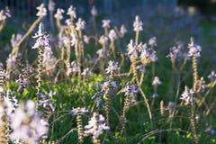 Ciérrese para arriba de las flores de la lavanda que se sacuden en la brisa Fotografía de archivo