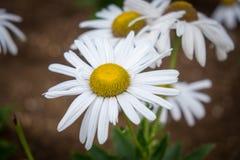 Ciérrese para arriba de las flores de la margarita en jardín imágenes de archivo libres de regalías