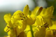 Ci?rrese para arriba de las flores de la rabina fotografía de archivo