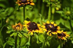 Ciérrese para arriba de las flores negro-observadas de susan Fotografía de archivo libre de regalías
