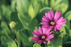 Ciérrese para arriba de las flores púrpuras de la margarita Imagen de archivo libre de regalías