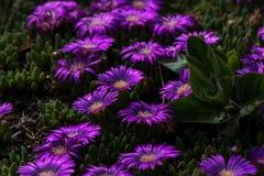 Ciérrese para arriba de las flores púrpuras vibrantes del jardín foto de archivo libre de regalías
