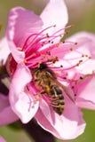Ciérrese para arriba de las flores rosadas de Cherry Blossom en la rama de árbol, abeja encendido i Fotografía de archivo