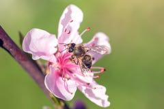 Ciérrese para arriba de las flores rosadas de Cherry Blossom en la rama de árbol, abeja encendido i Fotos de archivo
