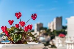 Ciérrese para arriba de las flores rosadas del ciclamen con las hojas ornamentales cultivadas en maceta Fotografía de archivo libre de regalías