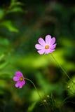 Ciérrese para arriba de las flores rosadas del ?cosmos? Imagen de archivo