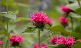 Ciérrese para arriba de las flores rosadas del didyma de Monarda del bálsamo de abeja Imagen de archivo