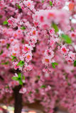 Ciérrese para arriba de las flores rosadas falsas de Sakura Fotografía de archivo libre de regalías