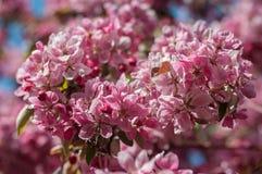 Ciérrese para arriba de las flores rosadas hermosas de Sakura Fotos de archivo