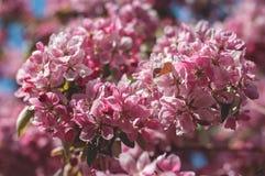 Ciérrese para arriba de las flores rosadas hermosas de Sakura Fotografía de archivo libre de regalías