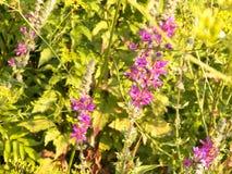 Ciérrese para arriba de las flores rosadas, naturaleza balcánica Fotos de archivo libres de regalías