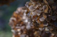 Ciérrese para arriba de las flores secadas hermosas de la hortensia en el fondo esmeralda borroso oscuro fotos de archivo