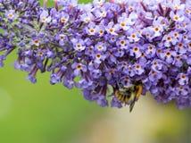 Ciérrese para arriba de las flores y de abeja del Buddleia Fotos de archivo