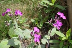 Ciérrese para arriba de las flores y de los brotes violetas de la honradez Imágenes de archivo libres de regalías
