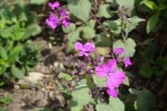 Ciérrese para arriba de las flores y de los brotes violetas del annua del Lunaria Fotos de archivo libres de regalías