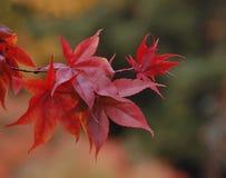 Ciérrese para arriba de las hojas de arce magníficas del escarlata Fotografía de archivo libre de regalías