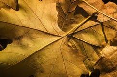 Ciérrese para arriba de las hojas de un otoño Imagenes de archivo