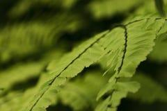 Ciérrese para arriba de las hojas del helecho Fotos de archivo
