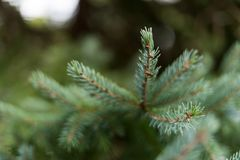Ciérrese para arriba de las hojas del pino imagenes de archivo