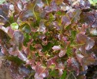 Ciérrese para arriba de las hojas del roble rojo Fotografía de archivo libre de regalías