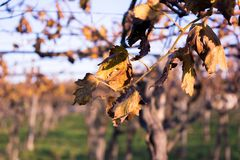 Ciérrese para arriba de las hojas del vino seco en fondo de la falta de definición en Autumn Day imagenes de archivo