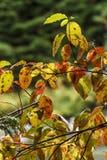 Ciérrese para arriba de las hojas de la caída Imagen de archivo