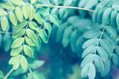 Ciérrese para arriba de las hojas ovales del añil falso del verano Imagen de archivo