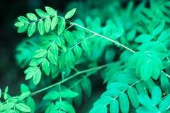 Ciérrese para arriba de las hojas ovales del añil falso del verano Foto de archivo