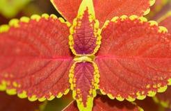 Ciérrese para arriba de las hojas rojas del coleo Fotos de archivo libres de regalías