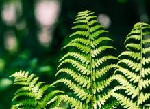 Ciérrese para arriba de las hojas tropicales del helecho, fotos de archivo
