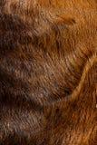 Ciérrese para arriba de las lanas nubian anglo de las ovejas Imagen de archivo