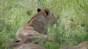 Ciérrese para arriba de las leonas africanas salvajes que descansan en la sombra de un árbol en el calor almacen de metraje de vídeo
