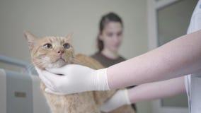 Ciérrese para arriba de las manos con guantes del doctor veterinario que examinan el gato del jengibre, palpando su estómago El a almacen de video