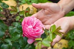 Ciérrese para arriba de las manos del ` s de la mujer que sostienen una flor color de rosa rosada en un jardín Imagen de archivo libre de regalías