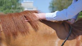 Ciérrese para arriba de las manos femeninas que preparan el caballo en el rancho metrajes