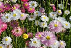 Ciérrese para arriba de las margaritas eternas rosadas y blancas que muestran el ojo amarillo y los pétalos delicados en la puest Foto de archivo