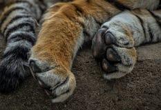 Ciérrese para arriba de las patas y de la cola del tigre Imagenes de archivo