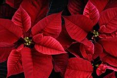 Ciérrese para arriba de las plantas vibrantes de la poinsetia Fotos de archivo libres de regalías