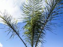 Ciérrese para arriba de las ramas de una palmera con un fondo del cielo azul imagen de archivo