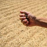 Ciérrese para arriba de las semillas en mano del granjero, la cosecha del arroz en fondo Fotos de archivo