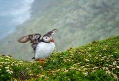 Ciérrese para arriba de las solas alas del aleteo del frailecillo en el borde del acantilado fotografía de archivo