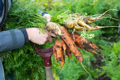 Ciérrese para arriba de las zanahorias anaranjadas y amarillas formadas impares y de una bifurcación - po Fotografía de archivo